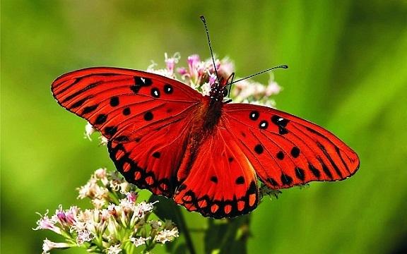 Farfalla melanom
